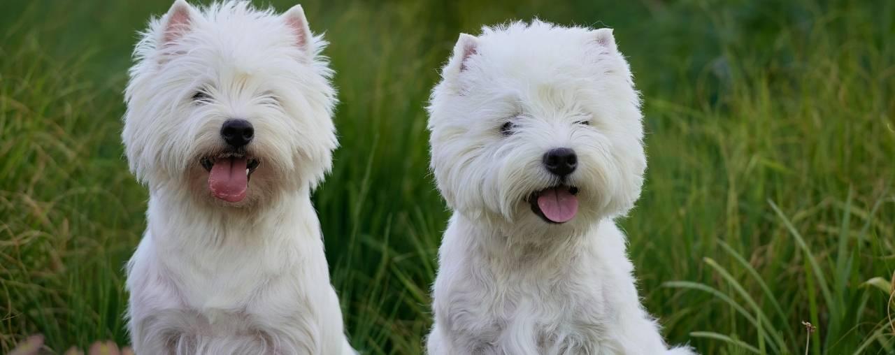 Spotlighting – The West Highland White Terrier